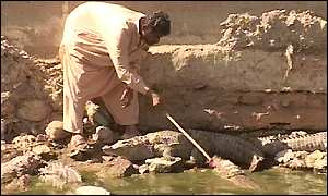 A Sidi man feeding a crocodile