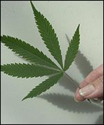Cannabis leaf: Possession of cannabis in Lambeth is not prosecuted