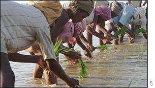 Indian paddy-fields (Associated Press)