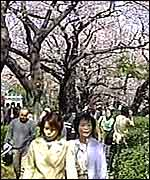 Japanese women walk among the blossom