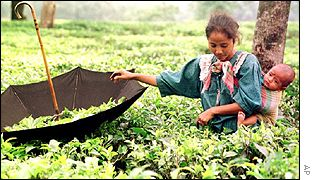 An Indian tea picker