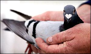 Indian government wants to do away with the pigeon postal service