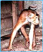A macaque chained to a crate