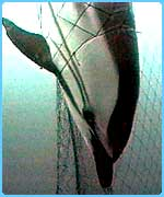 Dolphins are often caught in shark nets