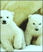 Polar bear cubs had male and female reproductive organs