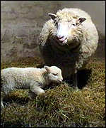 [ image: Cloned sheep Dolly and Bonny the lamb]