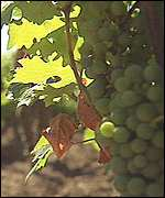 [ image: Vines currently producing poor quality grapes would be replaced]