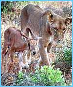 The lioness and a baby oryx