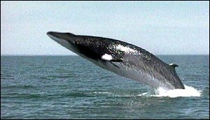 Whale leaping from water   BBC