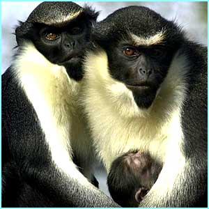 Family portrait: a pair of Diana monkeys and their baby