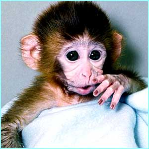 Talking of babies, meet ANDi, the first genetically engineered monkey born in the US in 2000
