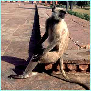 A monkey relaxes in Agra, India