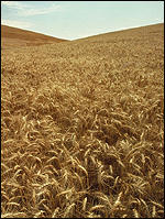 Wheat, USDA