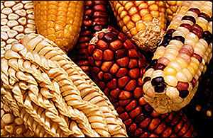 Corn cobs   US Department of Agriculture