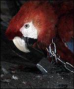 Chained macaw   Earth Report
