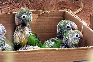 Parakeet chicks in box   Earth Report