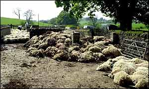 Pile of sheep carcasses