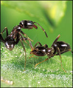 The Argentine ant. Pic from BBC news.