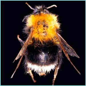 The humble bumblebee or Bombus hypnorum
