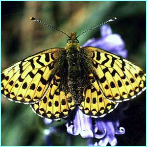 A Pearl bordered fritillary butterfly - don'cha know!