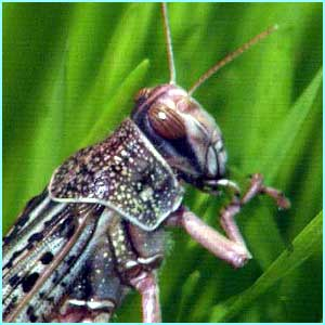 Locusts swarms can measure up to one mile wide, 30 metres deep, and 50 miles long