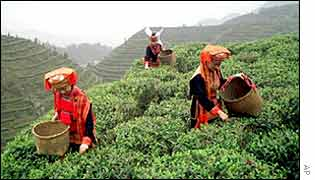 Ethnic Yao farmers picking tea