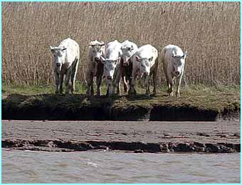 A group of cows fled their home at Faxfleet Hall Farm in Yorkshire and escaped to an island in the middle of the River Humber