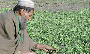 Afghan farmer weeds a poppy field