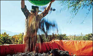 Grape harvest in Chile