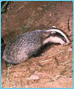 Thousands of badgers are used in cruel sports every year