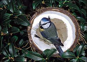 Blue tit in coconut   Chris Gomersall/RSPB Images