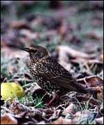 Starling   Chris Gomersall/RSPB Images