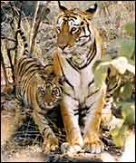 Tigress with cub