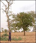 Harvesting Balanzan leaves in Segou, Mali