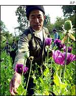 A volunteer destroys poppies during opium eradication