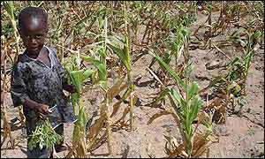 Child in field of wilted maize
