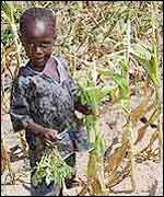Child in a field of wilted maize