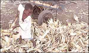 Boy with maize harvest