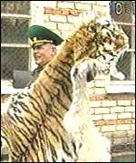 Russian border guard with tiger skin