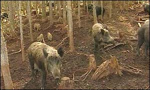 Boars in woodland