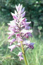 Military orchid/The Wildlife Trusts
