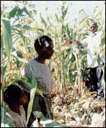 Workers in a Malawi maize field