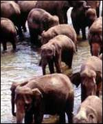 Asian elephants, BBC