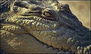 Alligator (Crocodilian.com)
