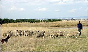 sheep farmer simon ramsay
