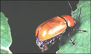 Hazel pot beetle (English Nature)