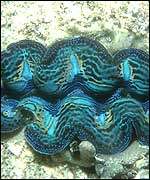 Giant clam Copyright Conservation International