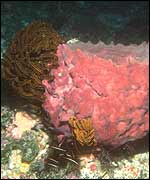 Barrel sponge Copyright Conservation International