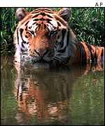 Siberian tiger in water   AP