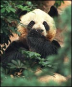 Panda peeping through leaves